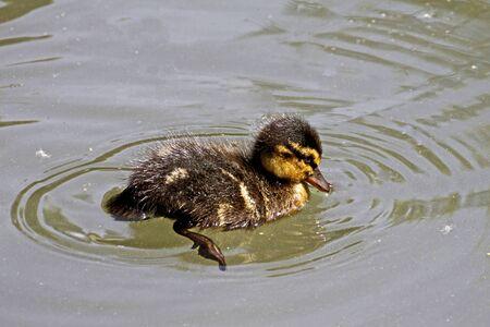 anas platyrhynchos: Hatchling of a duck Anas platyrhynchos - Mallard in Germany, Europe
