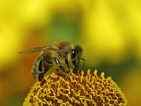 European honey bee, Apis mellifica on Helenium-Hybrid, Germany, Europe