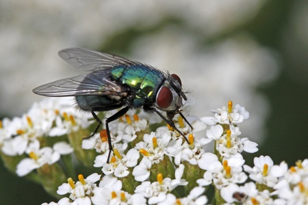 Lucilia sericata, Greenbottle fly on Yarrow bloom from Germany, Europe Banco de Imagens