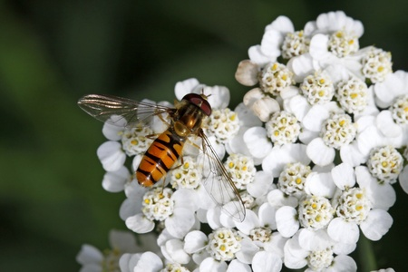 syrphid fly: Episyrphus balteatus, Syrphid fly on Yarrow bloom (Achillea) in Germany, Europehillea) in Germany, Europe