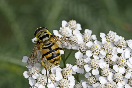 syrphid fly: Myathropa florea, Syrphid fly on Yarrow bloom (Achillea) in Germany, Europe