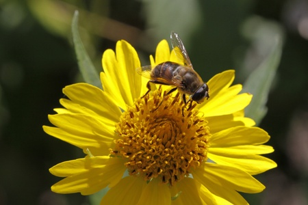 syrphid fly: Syrphid fly (Eristalis) on yellow flower in Germany, Europe Stock Photo
