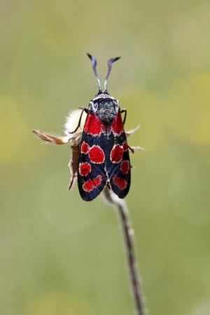 zygaena: Zygaena carniolica, Burnet butterfly from Monte Baldo, Italy