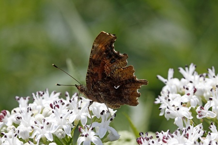 nymphalis: Comma butterfly (Nymphalis c-album, Polygonia c-album) on dwarf elder blossom in Italy, Europe