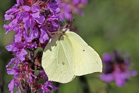 Common Brimstone (Gonepteryx rhamni) on (Lythrum salicaria) Purple loosestrife in Germany, Europe Stock Photo - 9669369