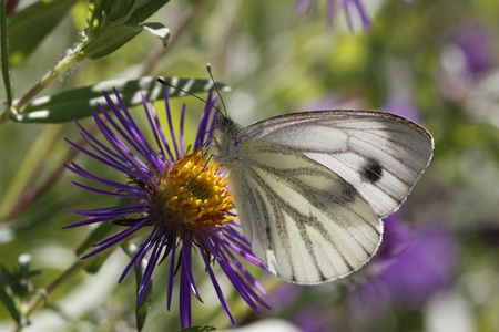 novae: Green-veined White butterfly (Pieris napi) on New England Aster in Germany, Europe Stock Photo
