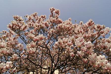 magnolia soulangeana: Magnolia x soulangeana, Saucer Magnolia, Magnolia-Hybrid Stock Photo