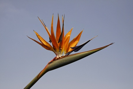 Strelitzia reginae, Crane Lily or Bird of Paradise flower from Germany, Europe photo
