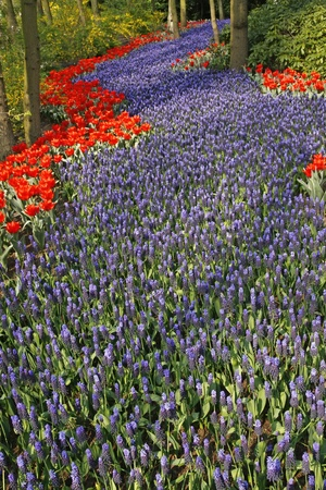 Blue Grape hyacinth with red tulips in Holland photo