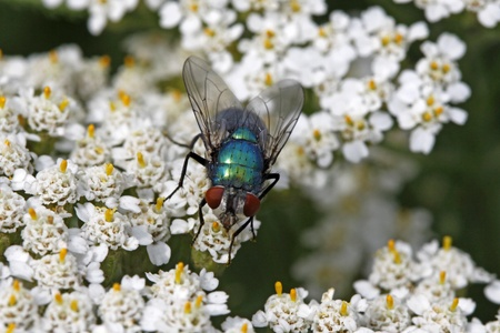 Greenbottle fly, Green bottle fly, Lucilia sericata on Yarrow, Achillea bloom Stock Photo - 9672549