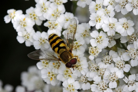 syrphid fly: Syrphid fly on Yarrow bloom (Achillea) in Germany, Europe