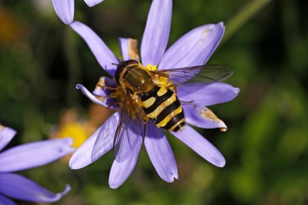 syrphid fly: Syrphid fly on Felicia amelloides in Germany, Europe Stock Photo