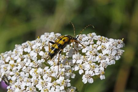 yarrow: Strangalia maculata beetle on Yarrow (Achillea) Stock Photo