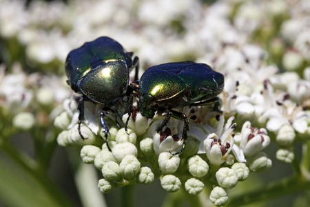 Rose chafer (Cetonia aurata) on a dwarf elder blossom in Italy, Europe photo