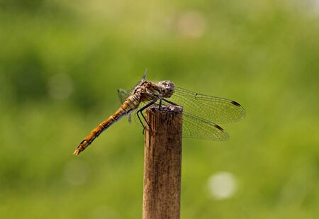 sympetrum: Sympetrum, Dragonfly from Germany, Europe