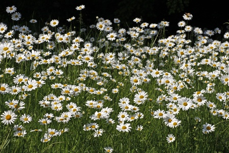 Leucanthemum vulgare, Meadow with Oxeye daisy, Marguerite in spring, Germany photo