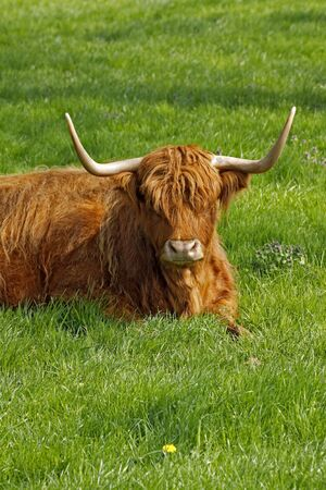 Highland Cattle, Kyloe - Beef cattle with long horns from Scotland, Europe photo