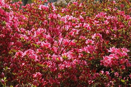 azaleas: Rhododendron, Japanese Azaleas in spring, Germany, Europe