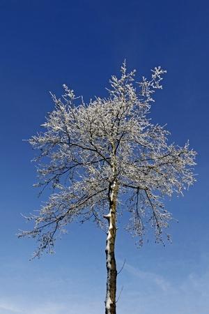 broadleaved tree: Birch tree in winter, Lower Saxony, Germany
