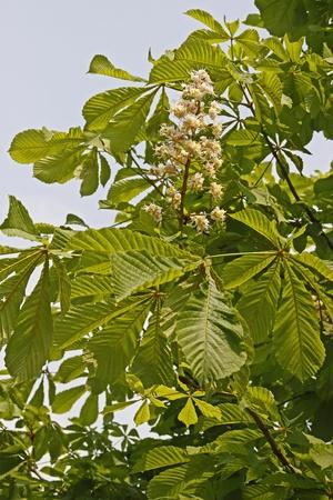 aesculus hippocastanum: Aesculus hippocastanum, Horse Chestnut in spring, Germany, Europe