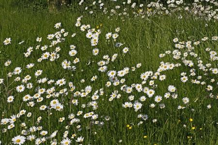 Leucanthemum vulgare - Oxeye daisy, Marguerite in Germany, Europe photo