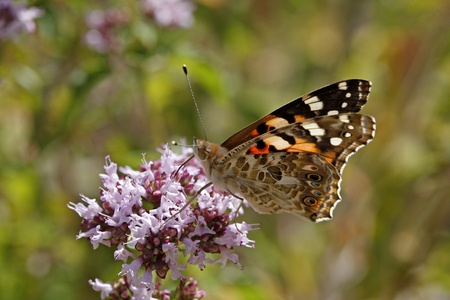 vulgare: Painted Lady butterfly (Vanessa cardui) on Origanum vulgare from Germany Stock Photo