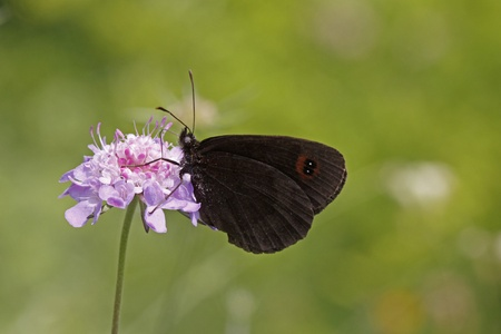 ringlet: Erebia, Brown butterfly, Ringlet on Scabious bloom, Monte Baldo, Italy Erebia, Mohrenfalter