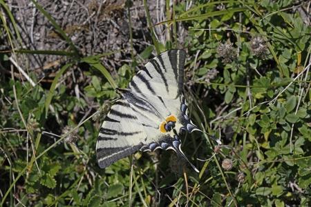 scarce: Scarce Swallowtail (Iphiclides podalirius) from Italy, Europe