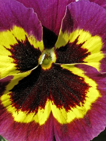 Garden-Pansy in spring, Viola wittrockiana, Pansy photo