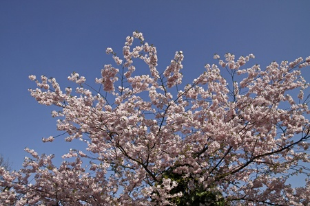 broad leaved tree: Japanese cherry tree in spring, Lower Saxony, Germany, Europe Stock Photo