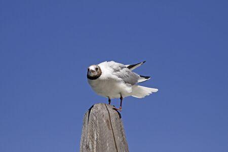 larus ridibundus: Larus ridibundus - Black-headed gull in Venice, Italy Stock Photo