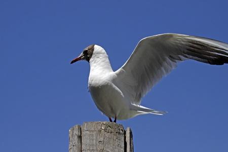 ridibundus: Larus ridibundus - Black-headed gull in Venice, Italy Stock Photo