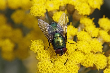 Lucilia sericata, Greenbottle fly on Yarrow bloom from Germany, Europe Stock Photo - 9792070