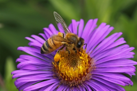 European honey bee on New England Aster in Germany Stock Photo
