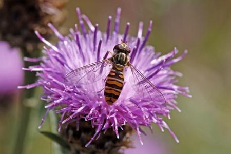 syrphid fly: Episyrphus balteatus, Syrphid fly on Brown Knapweed (Centaurea jacea), Germany, Europe Stock Photo