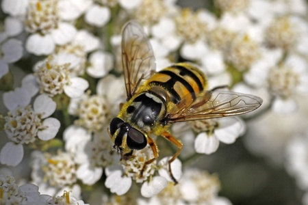 Myathropa florea, Syrphid fly on yarrow bloom (Achillea) Stock Photo - 9792067