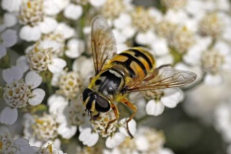 syrphid fly: Myathropa florea, Syrphid fly on yarrow bloom (Achillea) Stock Photo