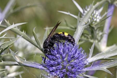 hirta: Scolia hirta, wasp on Eryngium amethystinum in Italy, Europe