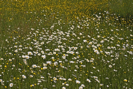 Leucanthemum vulgare - Oxeye daisy on a meadow in spring in Germany, Europe photo