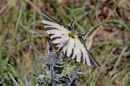 scarce: Scarce Swallowtail butterfly in summer, Iphiclides podalirius from Italy, Europe
