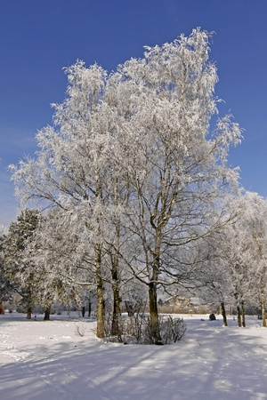 Birch tree in winter, spa park in Bad Laer, Osnabruecker land, Lower Saxony, Germany, Europe photo