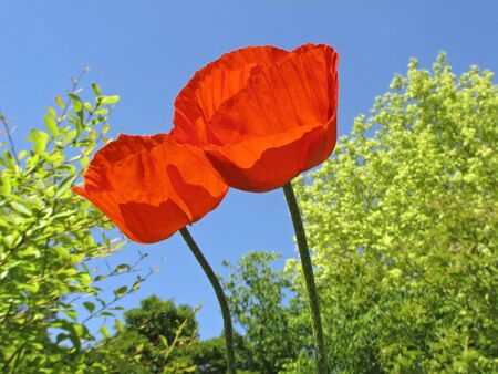 Two Oriental poppies (Papaver orientale) in spring, Germany, Europe photo