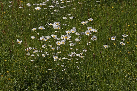 vulgare: Leucanthemum vulgare, Oxeye daisy, Marguerite Stock Photo