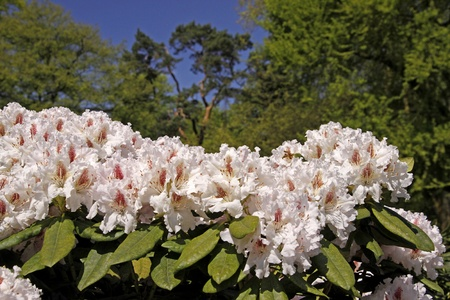 ornamental shrub: Rhododendron, Japanese Azaleas in spring, Germany, Europe