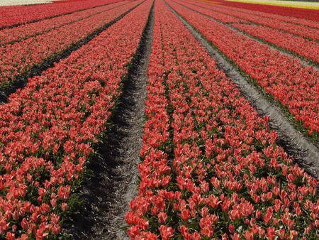lisse: Tulpenveld bij Lisse, Zuid-Holland, Nederland, Europa
