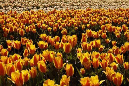 nurseries: Tulip field near Noordwijkerhout, South Holland, Netherlands, Europe Stock Photo