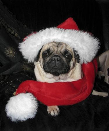 carlin: Christmas Pug lies on a sofa Stock Photo