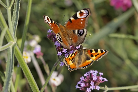 nymphalis: Peacock Butterfly, European Peacock and Small Tortoiseshell on Purpletop Vervain in Germany, Europe
