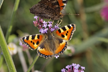 peacock butterfly: Mariposa pavo real, pavo real europea y Peque�a concha en Purpletop Vervain
