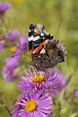 vanessa: Vanessa atalanta, Red Admiral on Aster in october, Germany, Europe